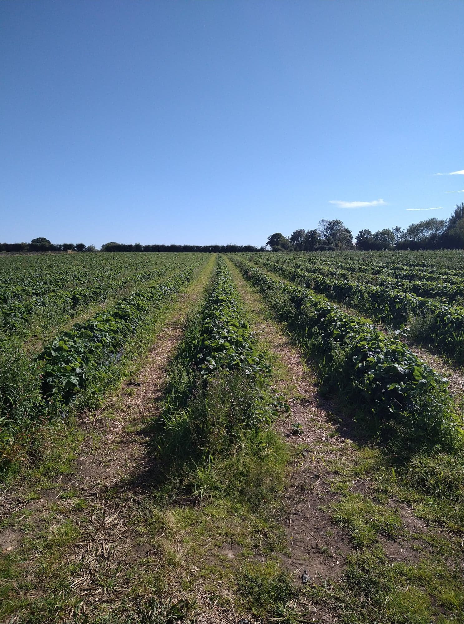 Neat rows of strawberry bushes at Wymeswold fruit farm